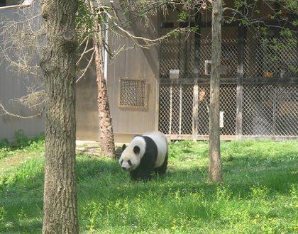 Pandaları Görebileceğiniz Ülkeler